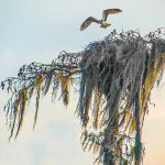 Osprey leaves nest