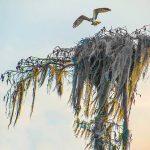 Osprey leaves nest