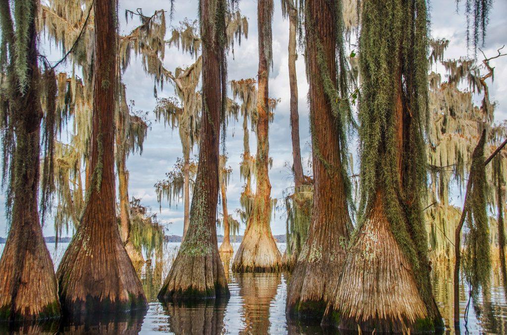 The Cypress of Lake Santa Fe