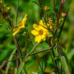 Tickseed Sunflower – Bidens polylepis
