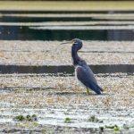 Tri-Colored Heron - Egretta Tricolor