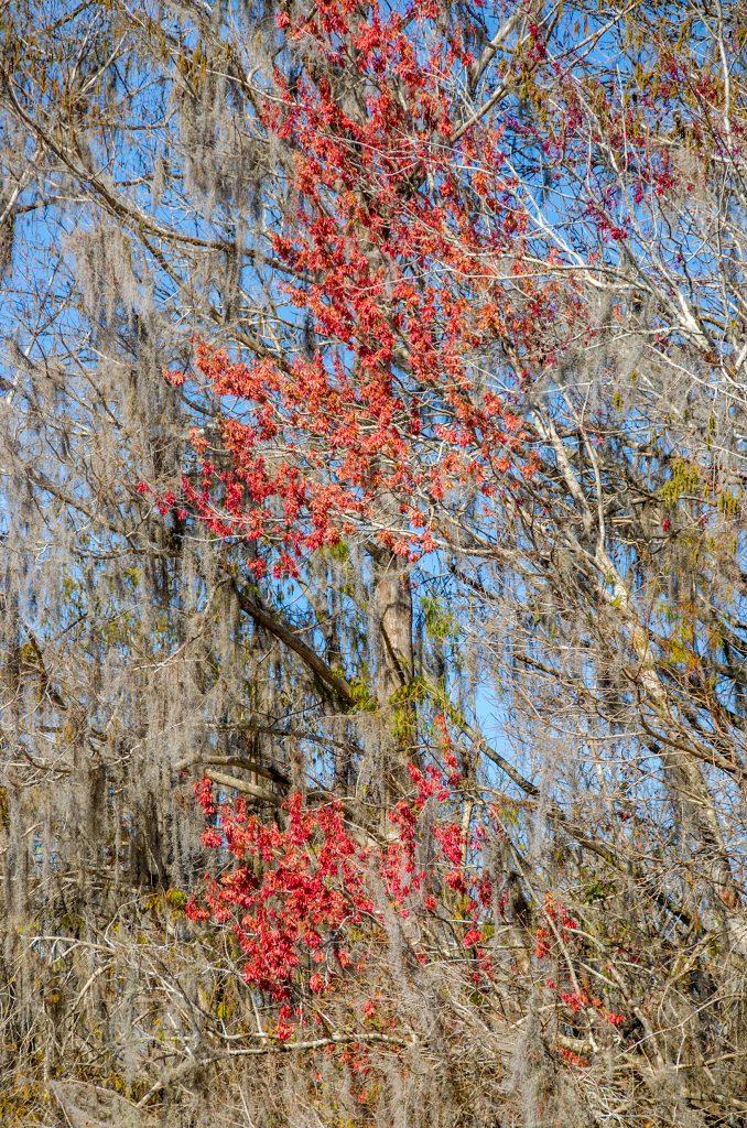 Winged Sumaras - Red Maple