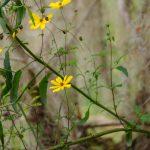 Woodland Sunflower - Helianthus strumosus