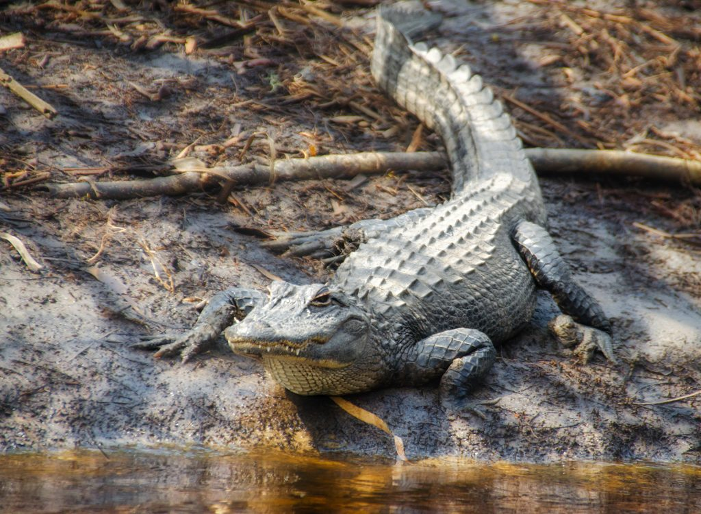 Alligator on Otter Creek
