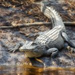 Alligator on Otter Creek