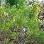 False Willow - baccharis angustifolia