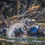 Gator and Turtle share debris island