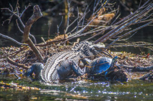 Gator and Turtle share debris island