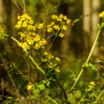 Golden ragwort - Packera aurea