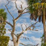 Osprey Nest in Cypress