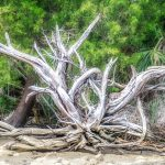 Weathered Tree Roots