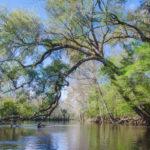 Spring Oak over the Santa Fe River