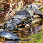 Turtles enjoying the warm afternoon