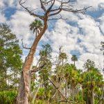 Weathered Cypress