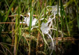 Alligator Lily - hymenocallis palmeri