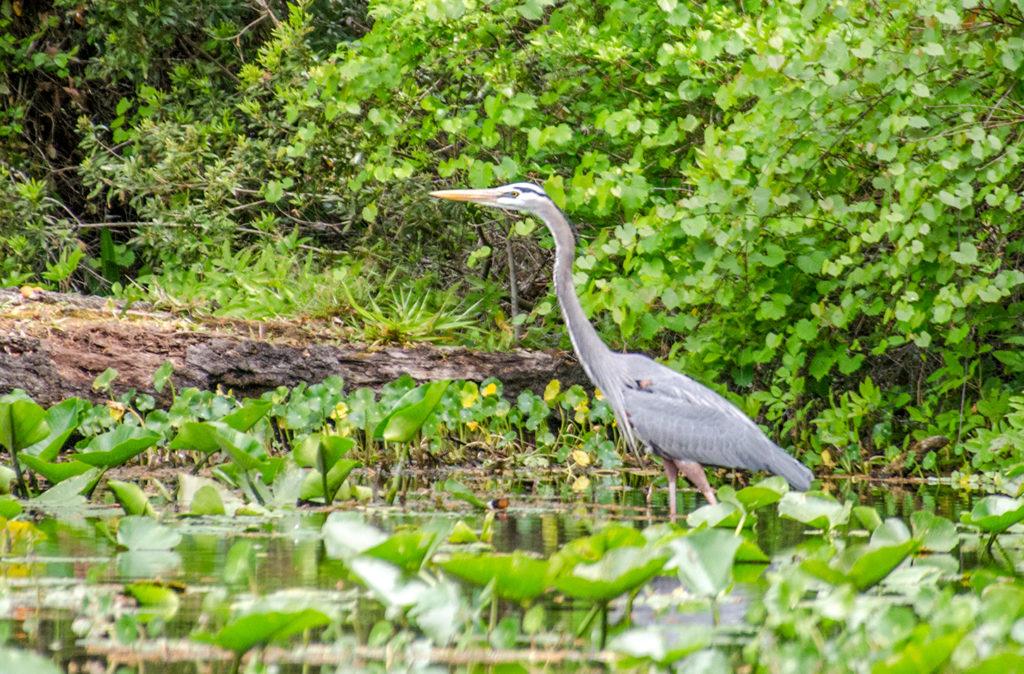 Blue Heron on Alexander Spring Creek