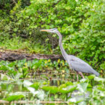 Blue Heron on Alexander Spring Creek