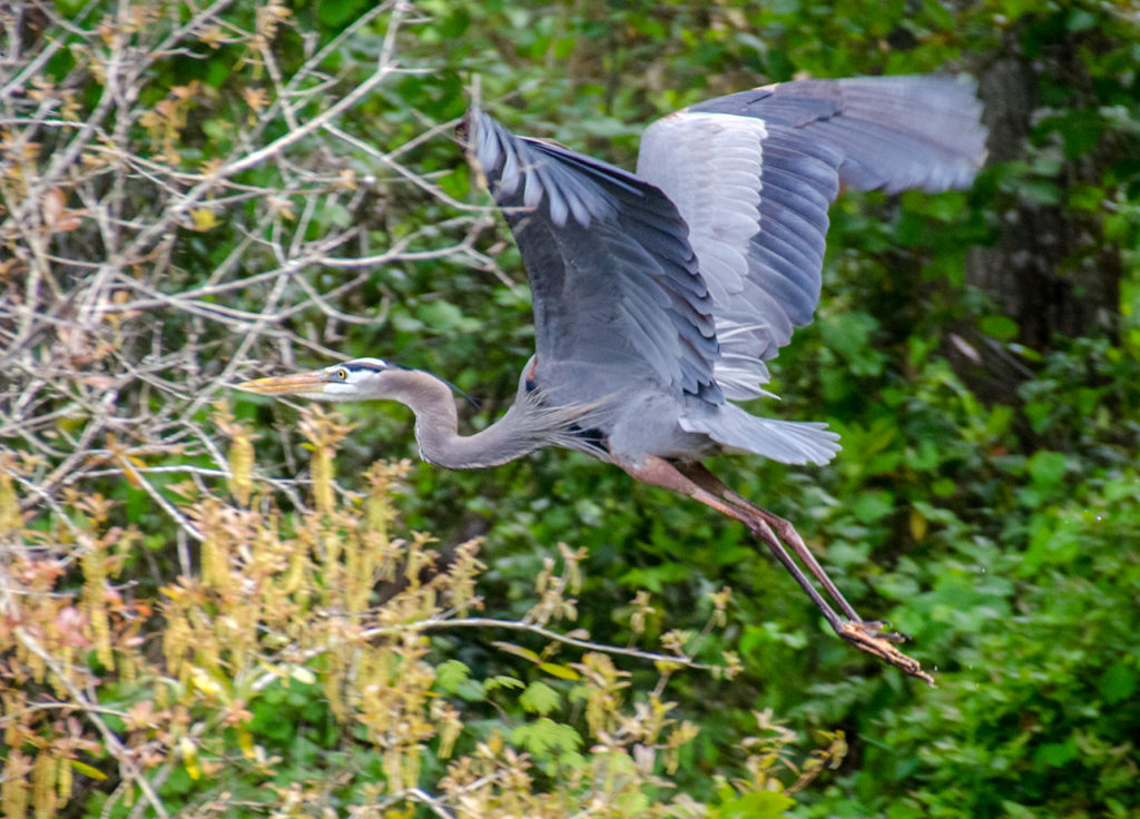 Blue Heron over Alexander Springs Creek