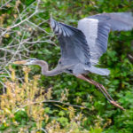 Blue Heron over Alexander Springs Creek