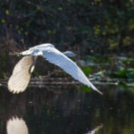 Egret Takes Flight