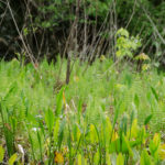 Ferns and Pickerel Weed