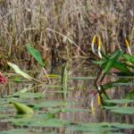 Golden Club - Orontium aquaticum