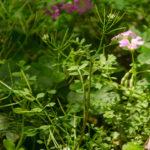 Hairy Bittergrass - Cardamine hirsuta