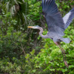 Heron in flight-Alexander Spring Creek