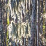 Moss in Cypress