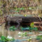 Okefenokee Gator