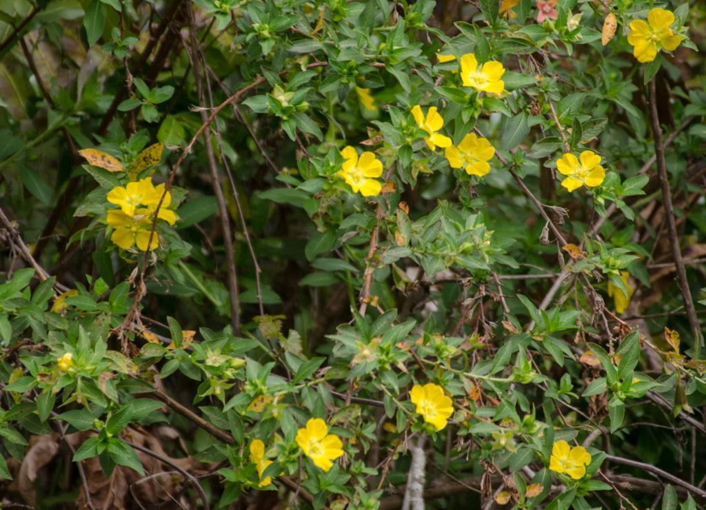 Primrose Willow on Alexander Spring Creek