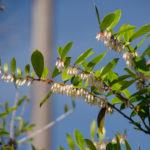 Shinning Fetterbush - Lyonia lucida