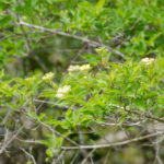 Swamp Dogwood - Cornus foemina