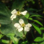 Trailing Blackberry - Rubus spp