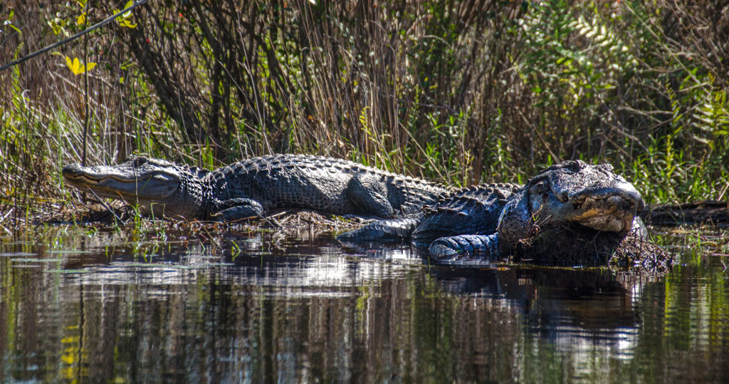 Two Large Alligators