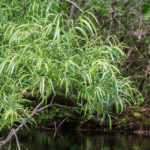 Virginia Willow on Alexander Spring Creek