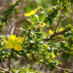 Water Primrose - Ludwigia peruviana