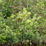 Wax Myrtle on Alexander Spring Creek