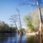 Cypress Bend on the Santa Fe River