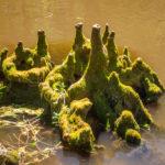 Cypress Knee Island
