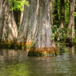 Cypress Trunks - Floral City Lake