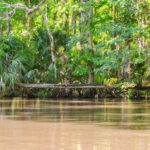 Horizontal Palm on the Ocklawaha River