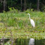 Ichetucknee Egret