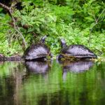 Ichetucknee - Two Turtles