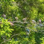 Immature Ibis at nest
