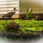 Limpkin in yard