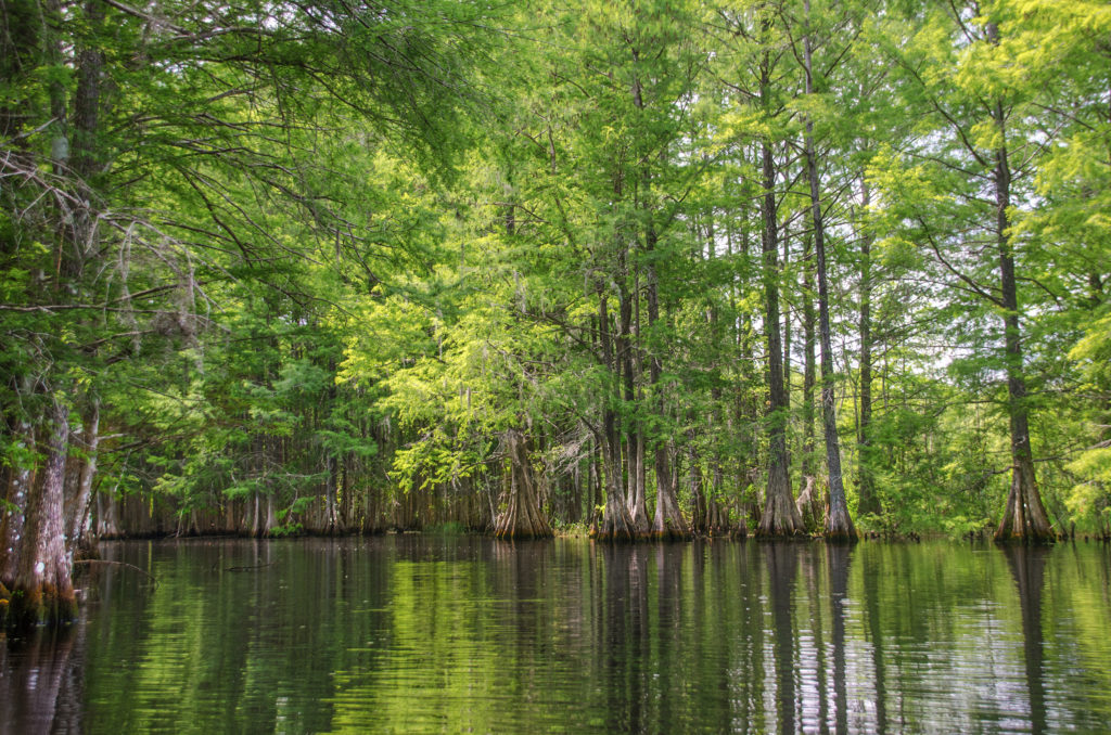 New Spring Growth on Bald Cypress