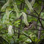 Virginia Willow:Sweetspire-Itea virginica
