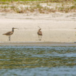 Eastern Curlew - Numenius madagascariensis