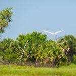 Egrets on Cumberland